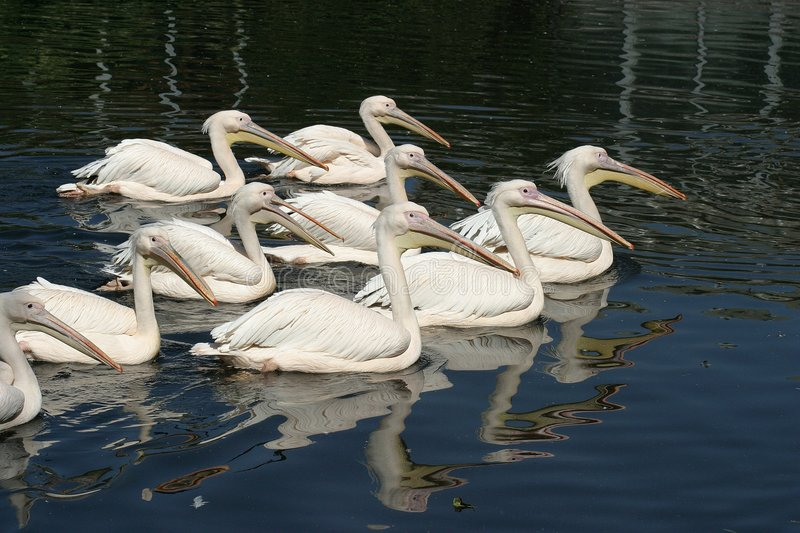 Download Pelicans stock image. Image of animal, blue, great, white - 20733