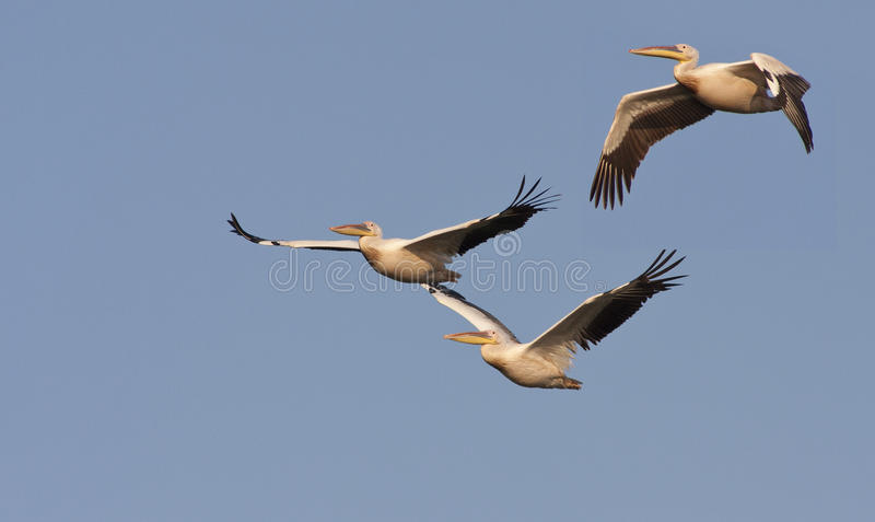 Download Pelicans Royalty Free Stock Photo - Image: 23859345