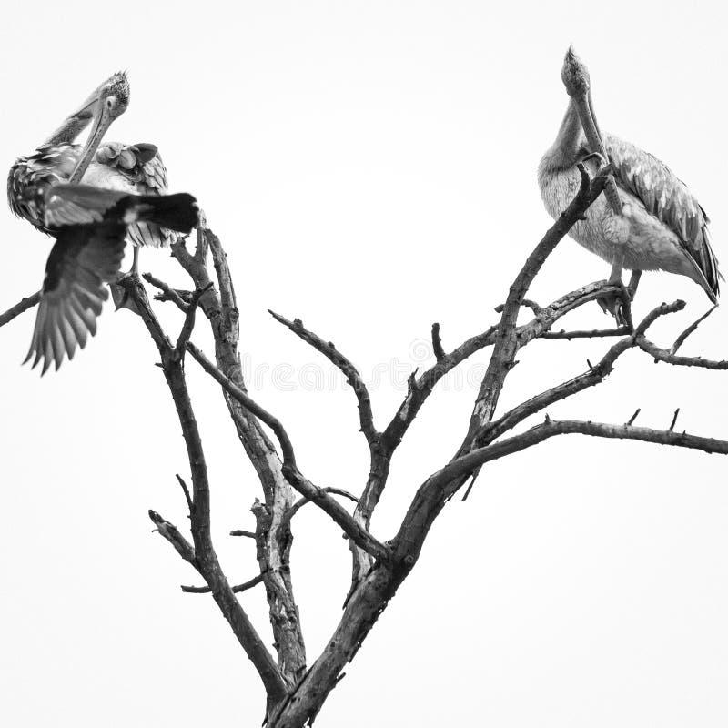 pelicans fotografia stock libera da diritti