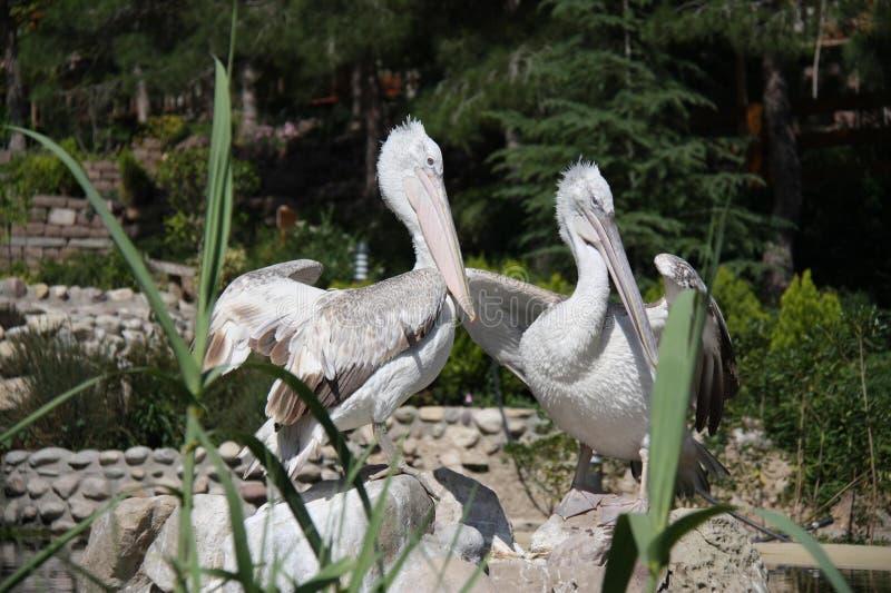 pelicans imagenes de archivo