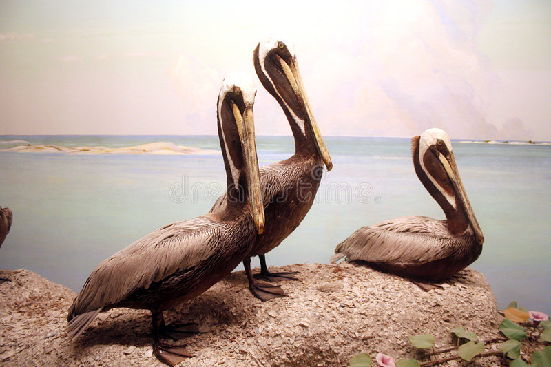 Pelicans. Three stuffed pelicans are part of a diorama at the Dallas Nature and Science Museum royalty free stock photo