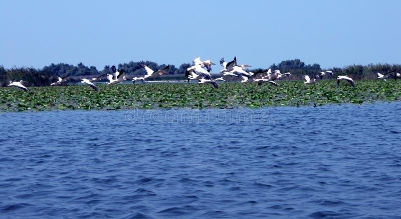 Download Pelicans stock photo. Image of pelecanus, warm, romania - 58618