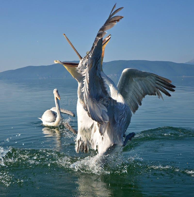 pelicans immagini stock libere da diritti