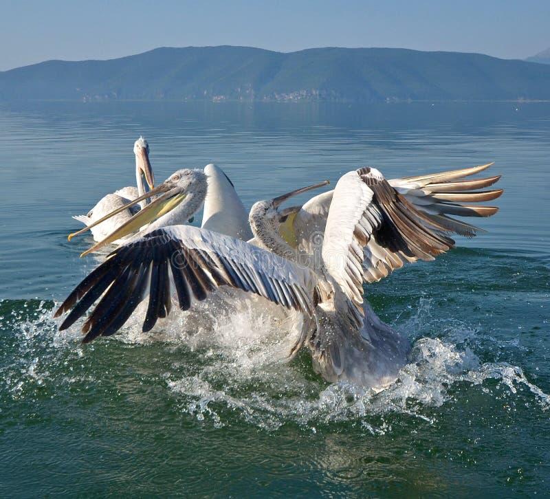 pelicans immagine stock libera da diritti