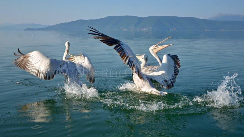 pelicans fotografie stock