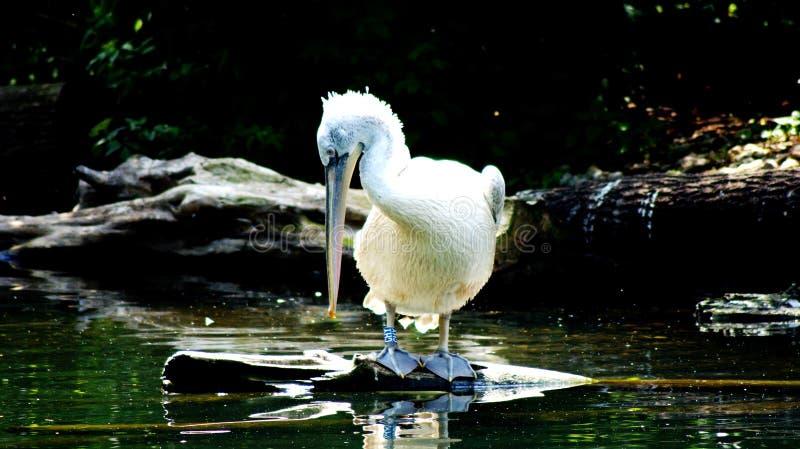 pelicans fotografia stock