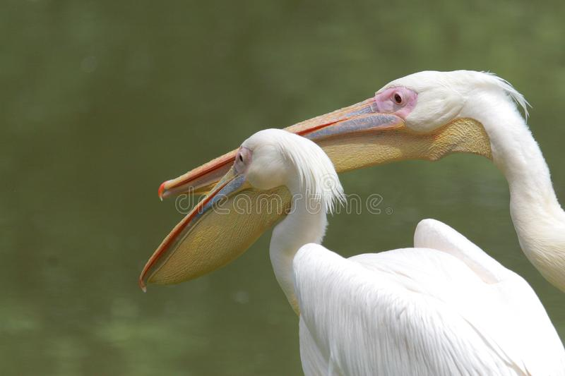 Download Pelicans stock image. Image of animal, white, flight, pelican - 9621591