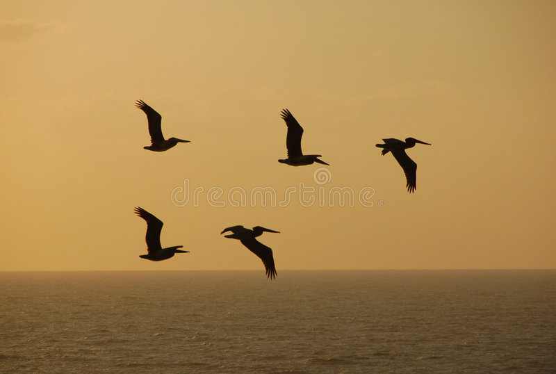 Download Pelicans against sunset stock image. Image of view, multiple - 1494429