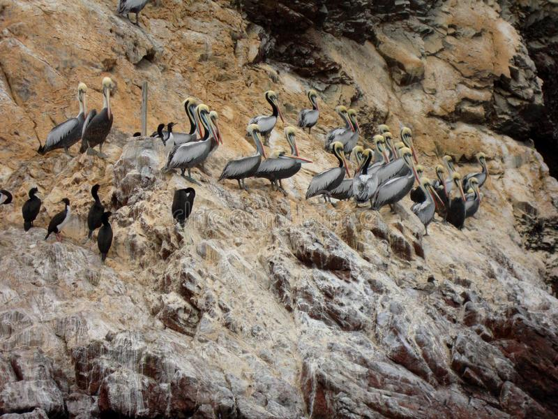 Pelicans Ballestas Islands, Peru stock photo