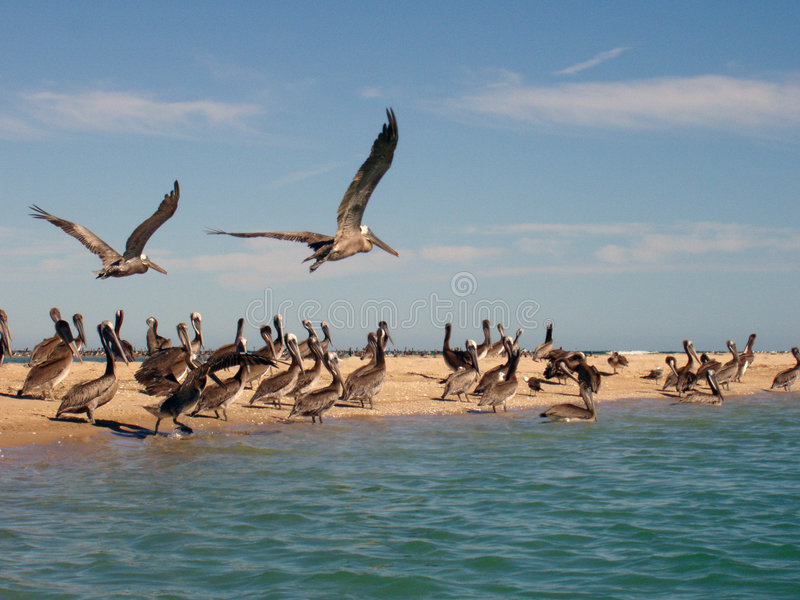 Download Pelicans On Beach Stock Photos - Image: 1402933
