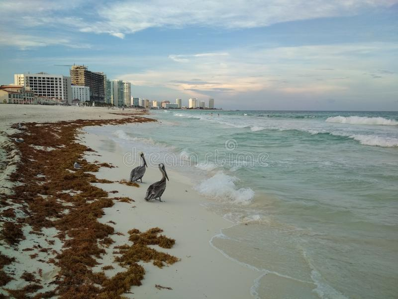 Pelicans on the beach in Cancun zona hotelera stock photography