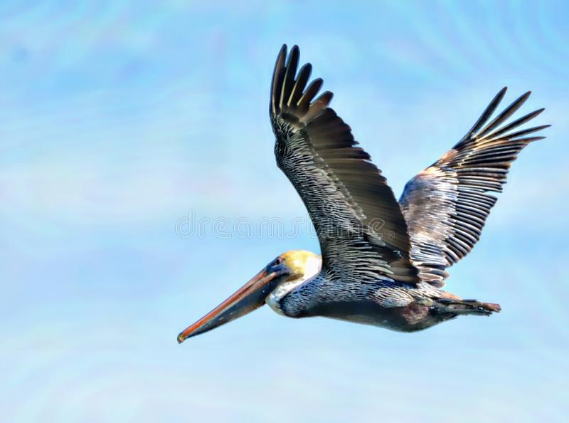 Pelicans can be seen on almost every beach in America. A pelican is a huge waterbird with very broad wings, a long neck, and a massive bill that gives the head a royalty free stock image