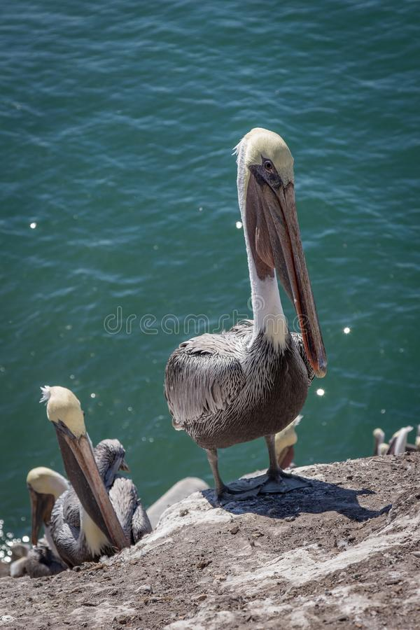 Pelicans on a cliff stock images