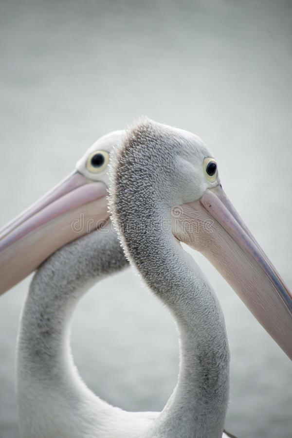 Free Pelicans Closeup. Royalty Free Stock Images - 24014759