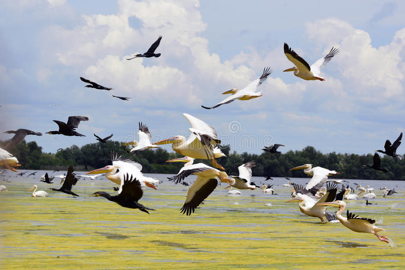 Pelicans and cormorans taking off in the Danube Delta, Romania royalty free stock photo