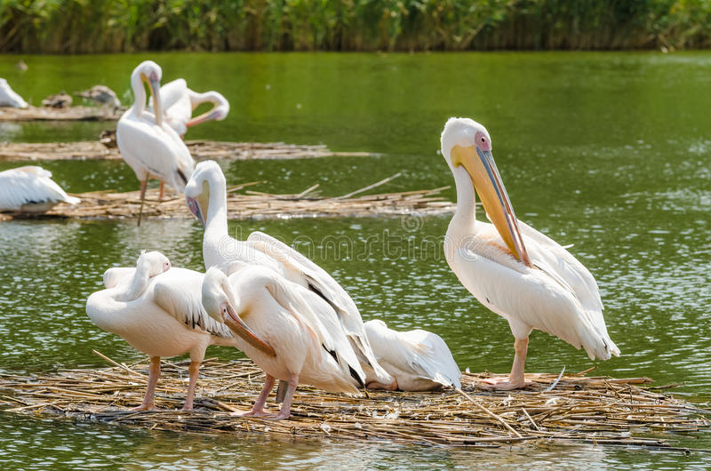 Pelicans In The Danube Delta royalty free stock photos