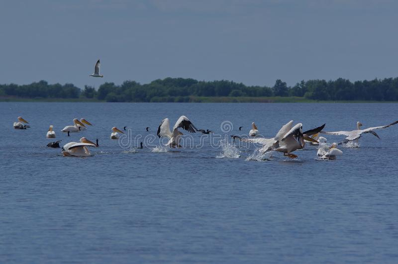 Pelicans in Danube Delta royalty free stock photography