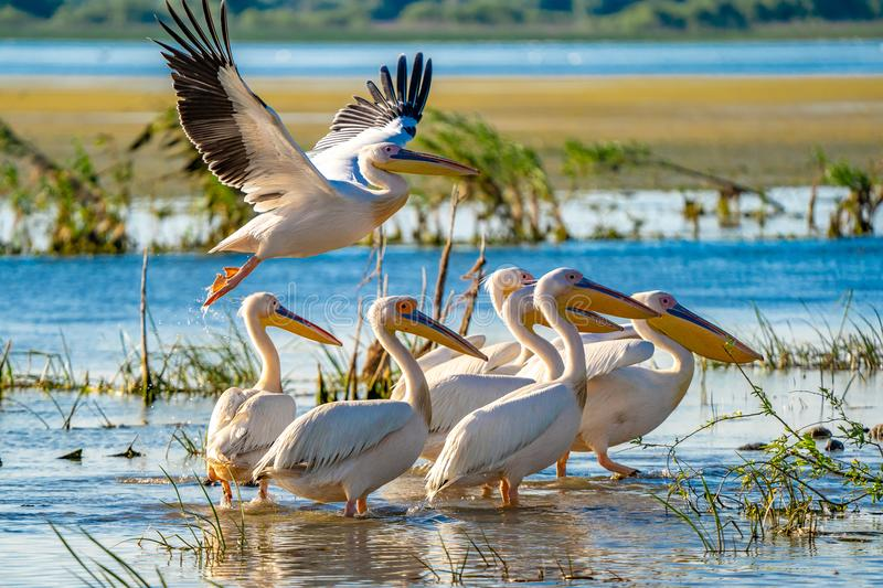 Pelicans in the Danube Delta, Romania. A common sight for the to. The Great White Pelican (Pelecanidae) flying in the Danube Delta, Romania stock photo