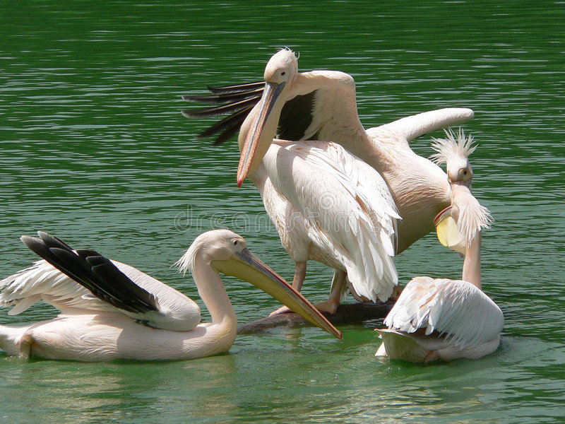 Pelicans,delhi,india stock photography