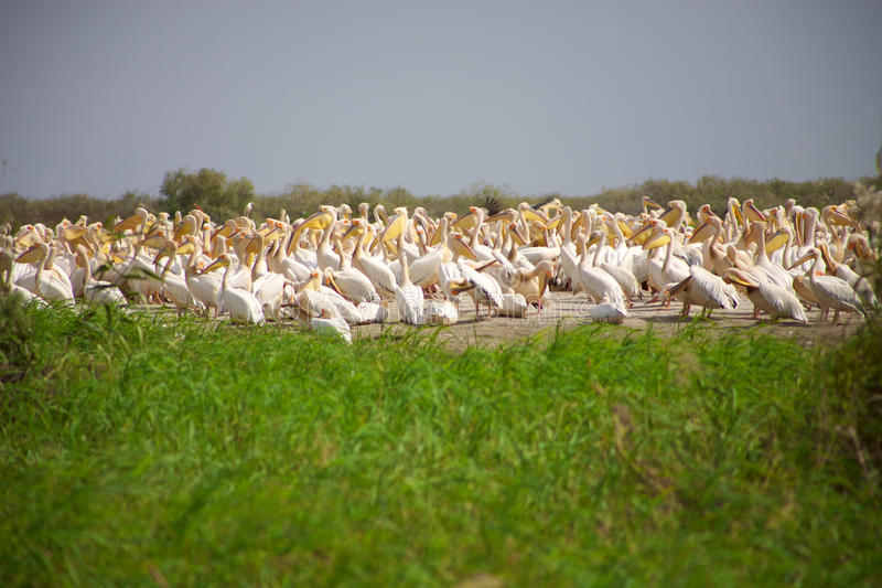 Pelicans in the Djoudj National park royalty free stock images