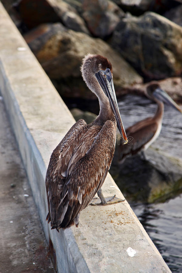 Pelicans On The Dock Royalty Free Stock Images