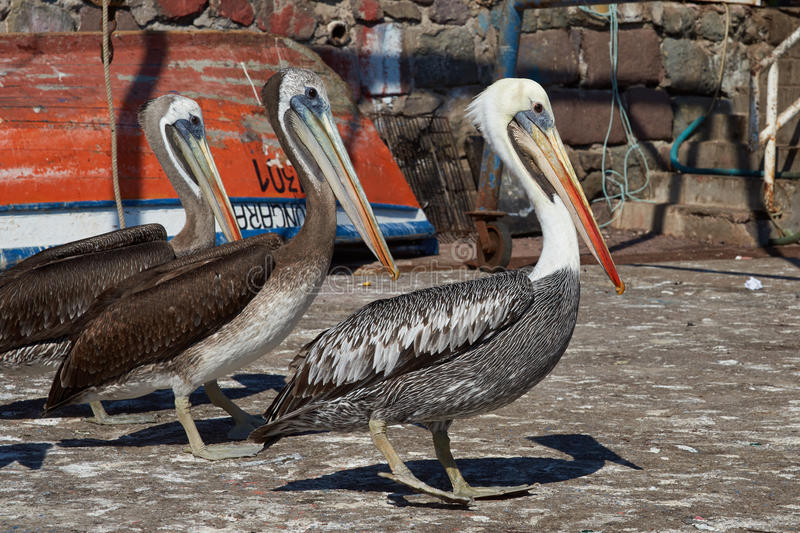 Pelicans on the Dockside royalty free stock image