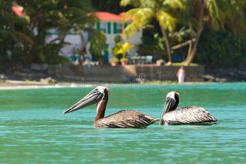 Pelicans in Doctor's Cove beach in Tortola, Caribbean royalty free stock photos