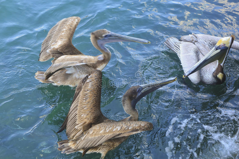 Pelicans Fighting, West palm Beach, Florida, USA royalty free stock photo