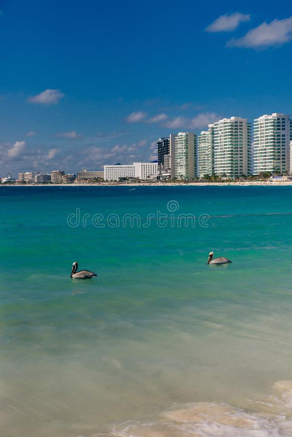 Pelicans on the beach in cancun, mexico. Pelicans fishing on the beach in cancun, mexico stock photography