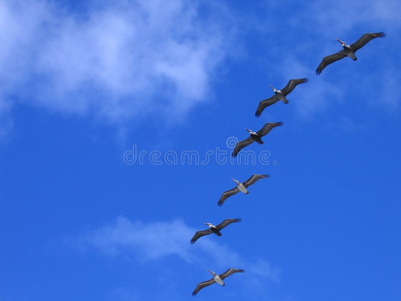 Pelicans in flight. Six brown pelicans in flight, La Jolla, California stock photos