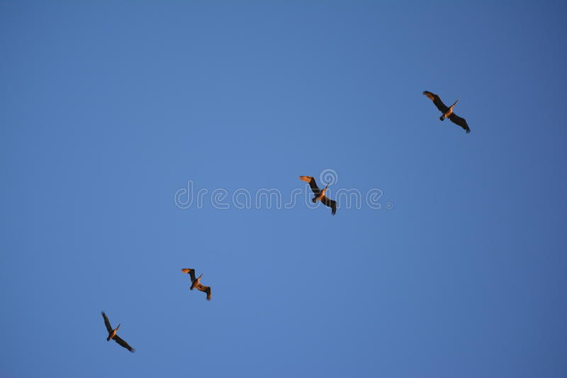 Pelicans in flight royalty free stock photography