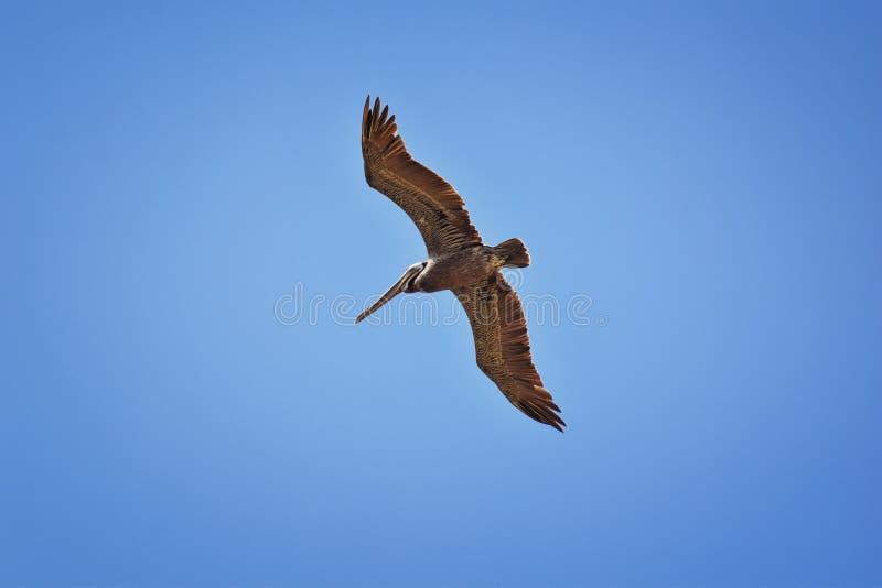 Pelicans in flight often flying with Frigate or Scissor birds in formation in Puerto Vallarta Mexico. stock photo