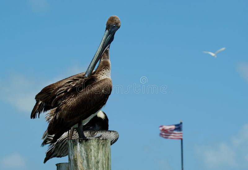 Download Pelicans In Florida (Pelecanus Occidentalis) Stock Photo - Image: 7799346