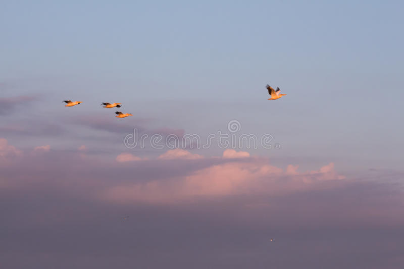 Pelicans. Fly in the sky at dawn clouds stock photo