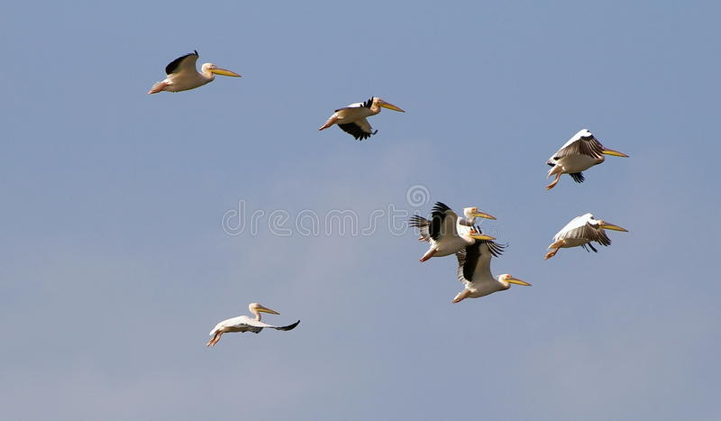 Download Pelicans flying stock image. Image of large, declined - 12379129