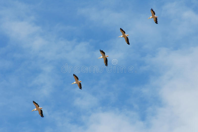 Pelicans Flying Stock Photos