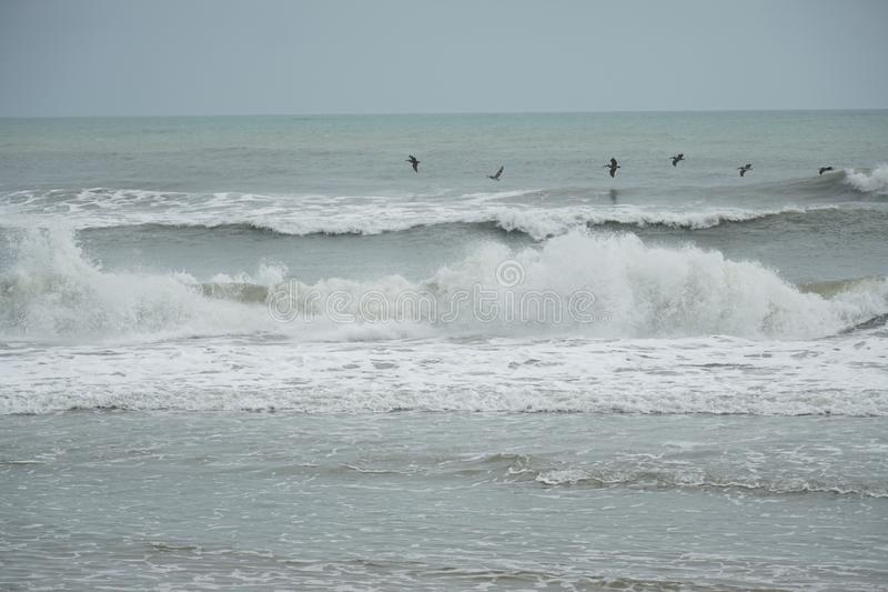 Pelicans flying along the waves stock photography