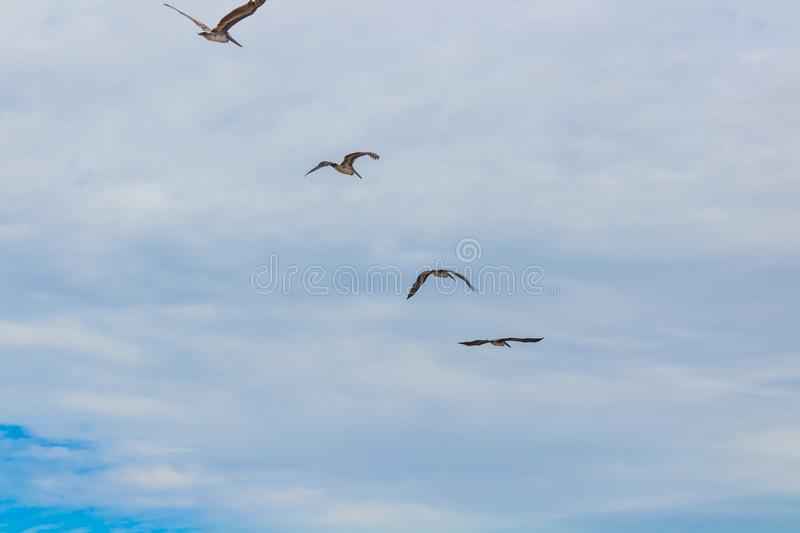 Costa Rican Pelicans royalty free stock images