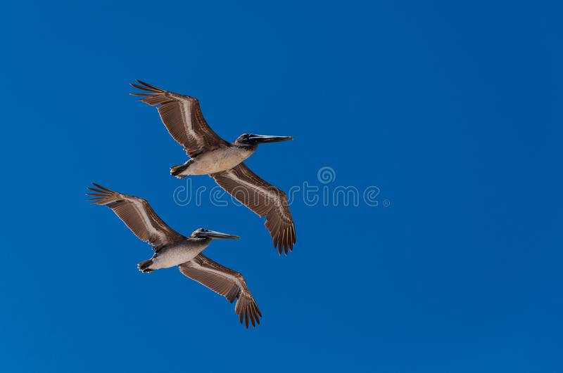 Download Pelicans Flying In Formation Stock Photo - Image of feather, pelican: 25740112
