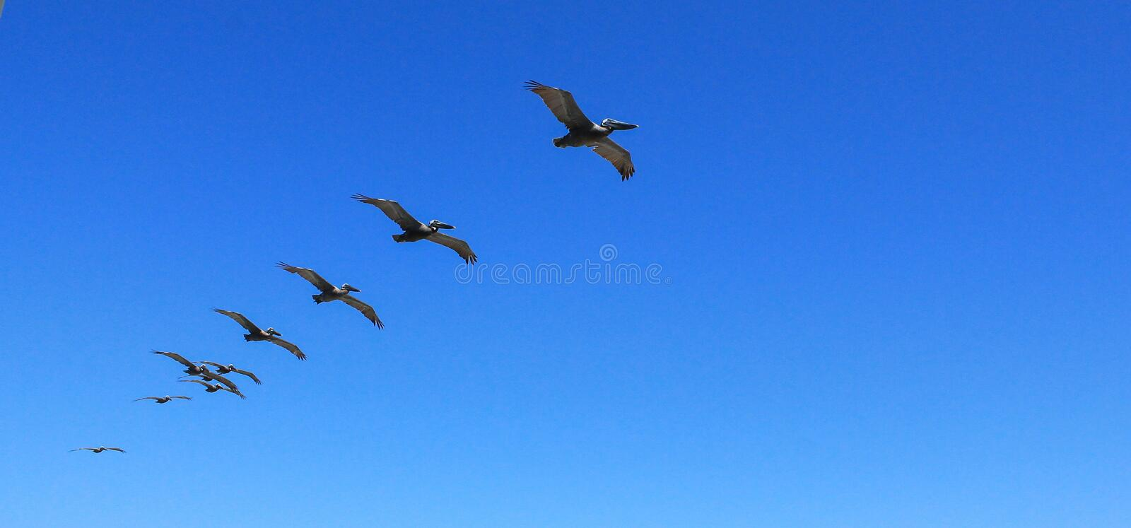 Pelicans flying over in formation royalty free stock photo