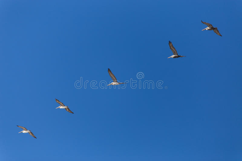 Pelicans Flying In Formation royalty free stock image