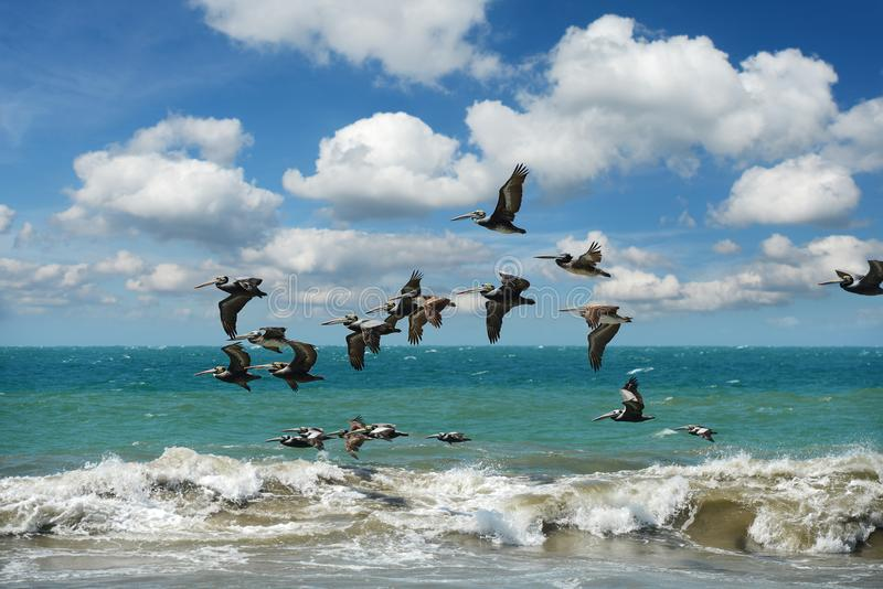 Pelicans flying in formation over the ocean. With waves and beautiful clouds stock photo