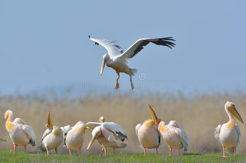 Pelicans. Flying in natural habitat (pelecanus onocrotalus royalty free stock photography