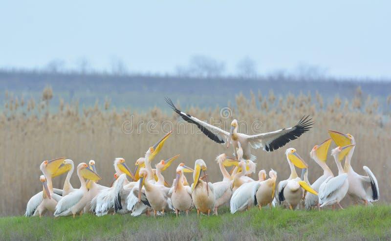 Pelicans. Flying in natural habitat (pelecanus onocrotalus royalty free stock images