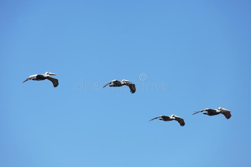 Flying pelicans stock photos