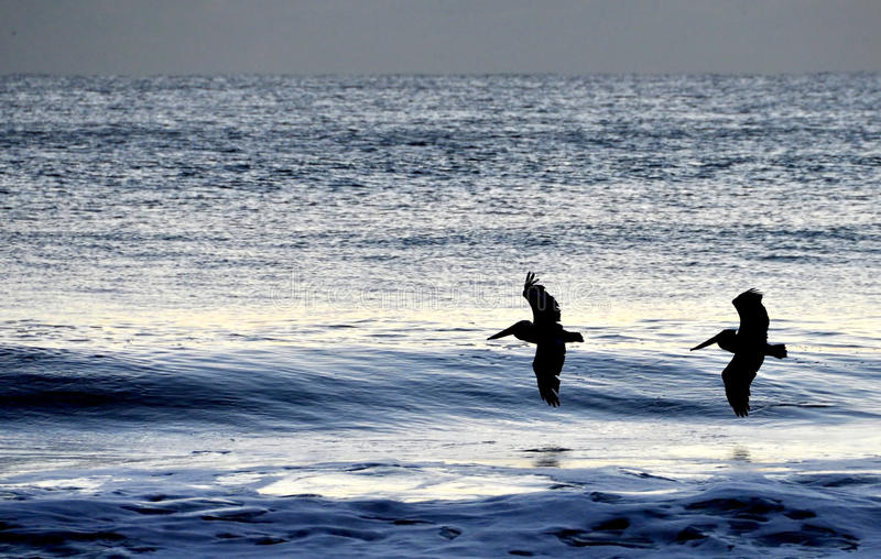 Download Pelicans Flying Over The Morning Waves Stock Photos - Image: 11859573