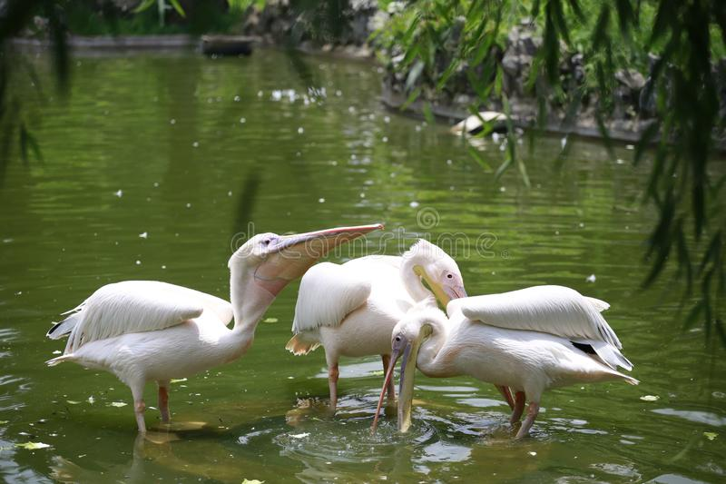 Pelicans are a genus of large water birds that make up the family Pelecanidae. They are characterised by a long beak and a large t. Hroat pouch used for catching stock images