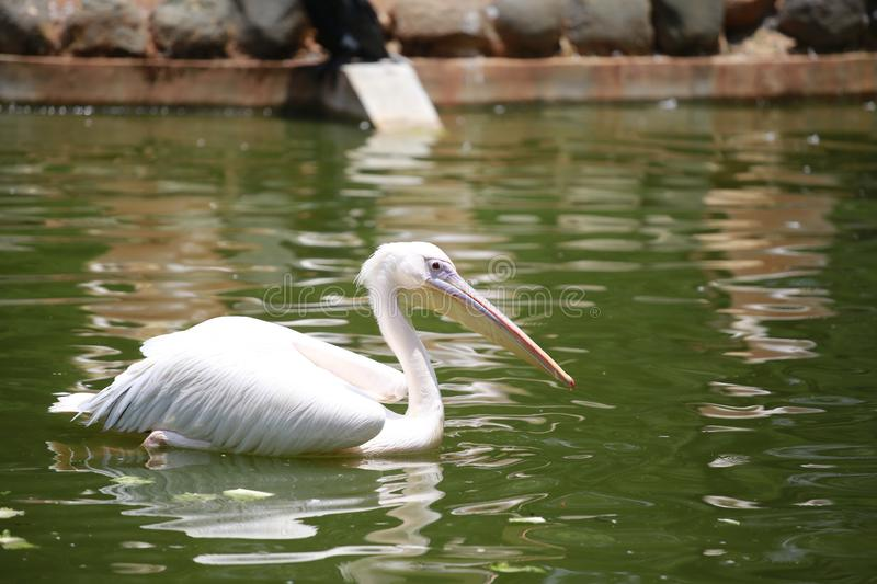 Pelicans are a genus of large water birds that make up the family Pelecanidae. They are characterised by a long beak and a large t. Hroat pouch used for catching royalty free stock photography
