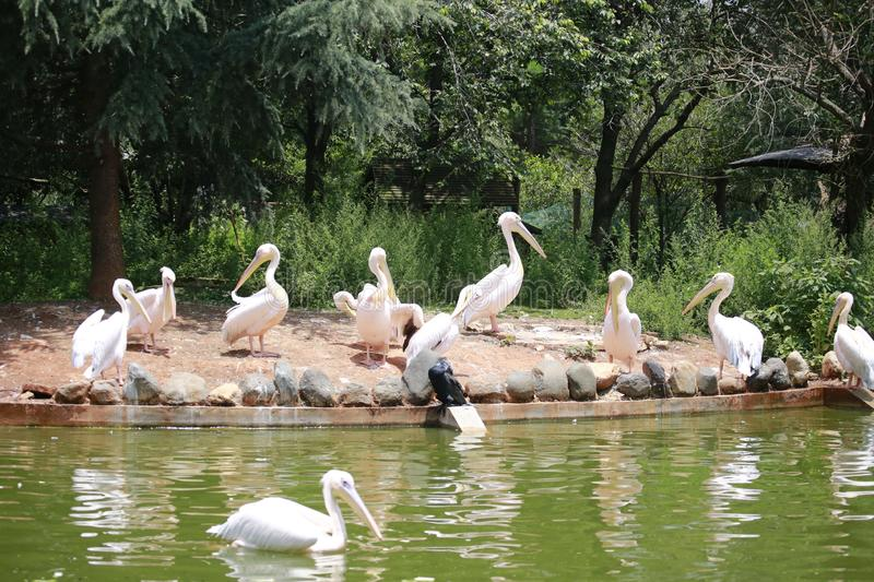 Pelicans are a genus of large water birds that make up the family Pelecanidae. They are characterised by a long beak and a large t. Hroat pouch used for catching stock photos