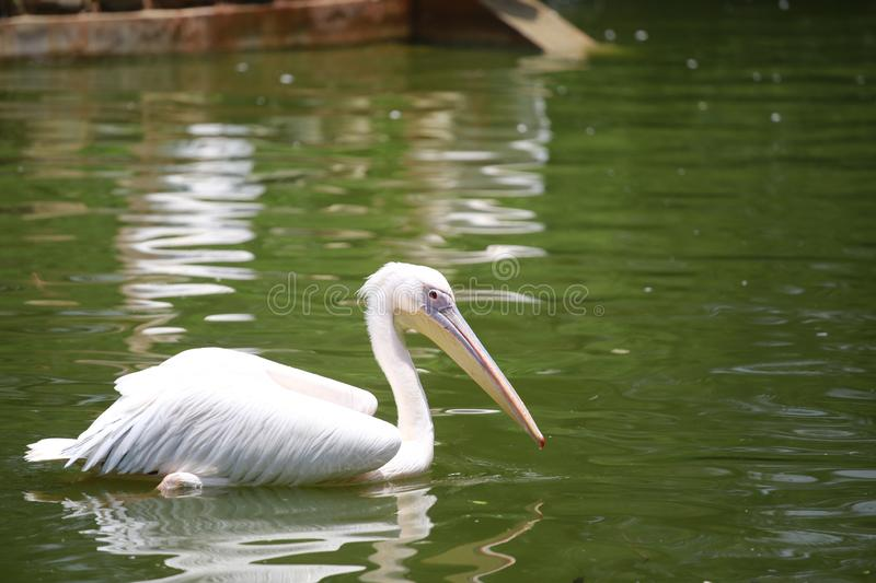 Pelicans are a genus of large water birds that make up the family Pelecanidae. They are characterised by a long beak and a large t. Hroat pouch used for catching stock image